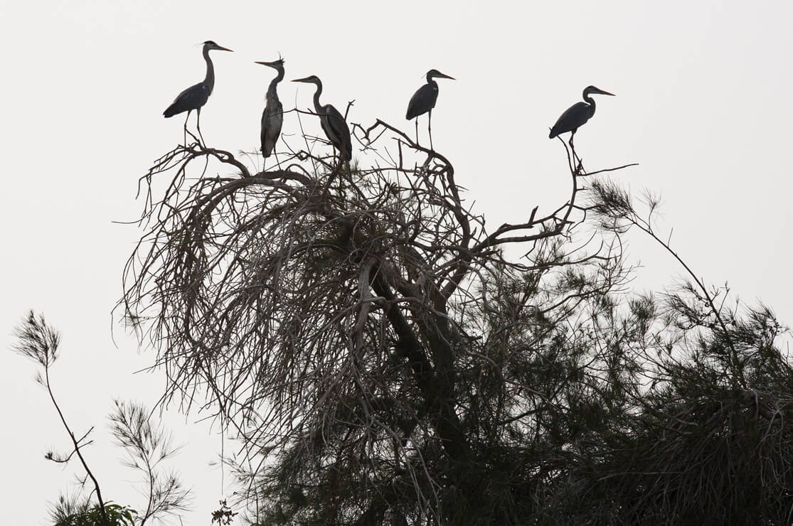 Herons by the Nile