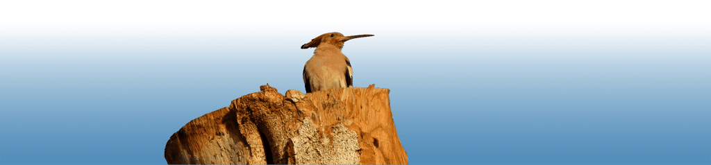 Hoopoe, Egypt, Ancient World Tours